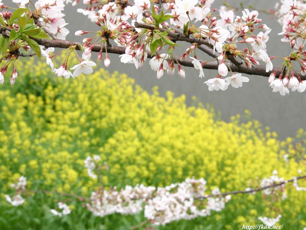 外濠公園の菜の花と桜