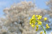 菜の花と桜と青空