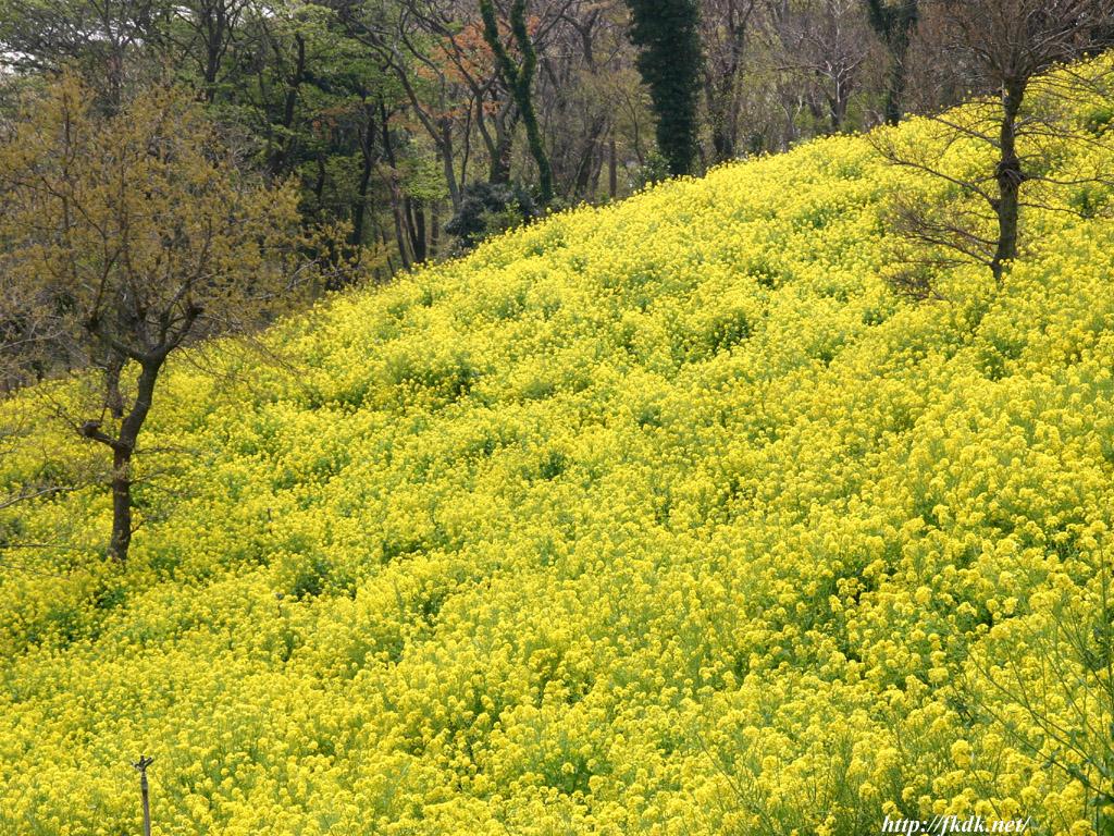マザー牧場西斜面の菜の花