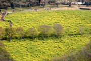 マザー牧場東斜面の菜の花