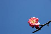梅の花と空2