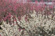 梅の花と千波湖