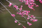 雨天の梅の花