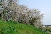 桜と川の土手