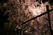 ピンクのシダレザクラ
