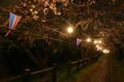 福岡堰の桜並木の夜桜
