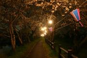 福岡堰の夜桜