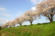 桜川の土手と桜