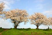 桜川畔の桜