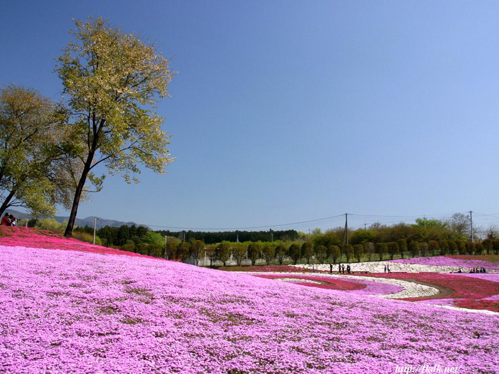 芝桜と山桜