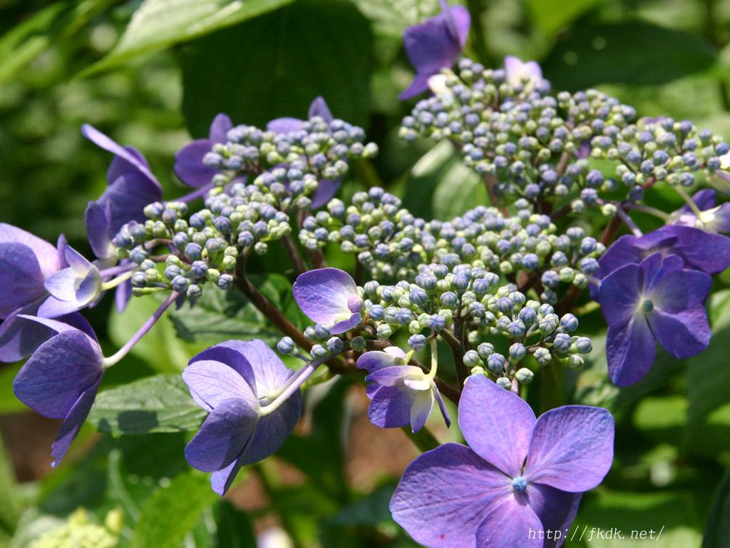 咲き始めの紫陽花