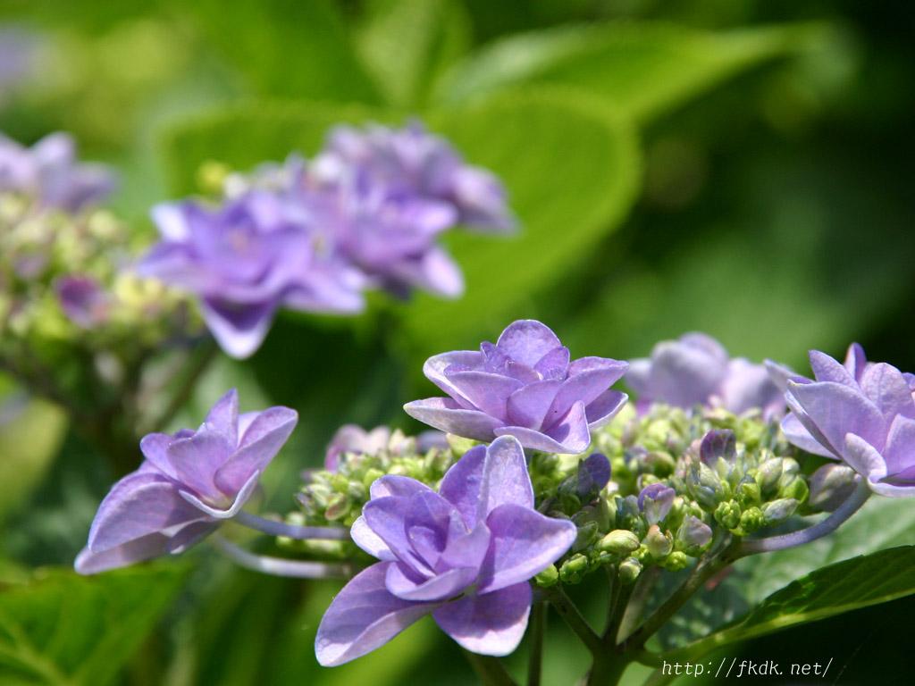 八重咲きの紫陽花