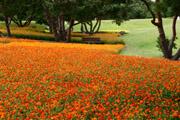 キバナコスモスの花畑1