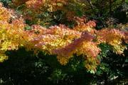 鎌倉の紅葉1