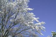 枯木に積もった雪