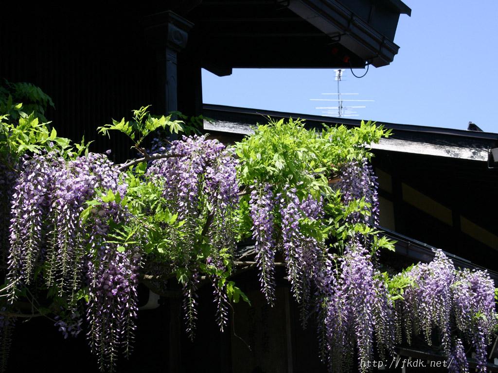さんまちの藤の花