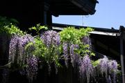 さんまちの藤の花の壁紙