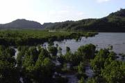 西表島 マングローブの森の壁紙