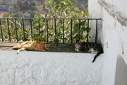カサレスの猫の壁紙