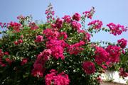 ブーゲンビリアの花の壁紙